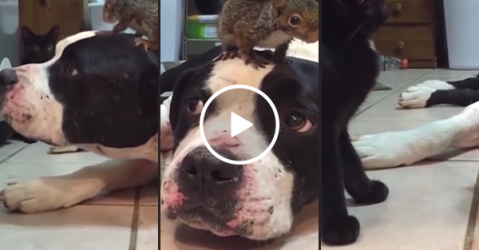 Dog protects baby squirrel from cat (Video)