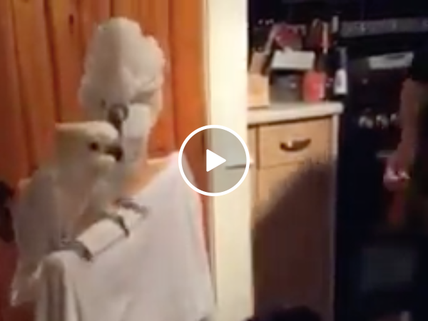 Dude serenades his birds, but only one's feeling it (Video)