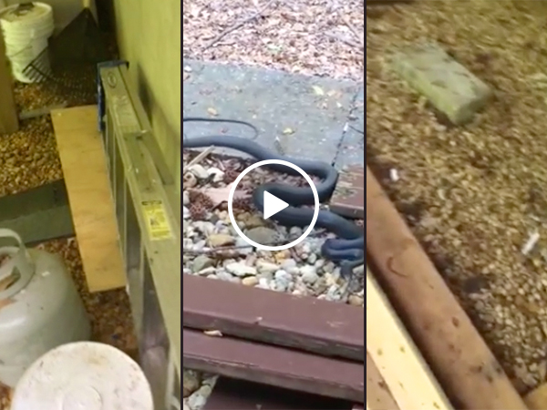Guy has a little bit of a snake problem... wait for it (Video)