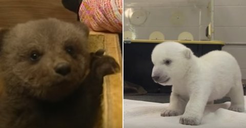 Bear Cubs are so adorable it hurts (16 GIFs)