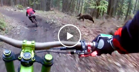 Bear tries to play a friendly game of tag with mountain bikers (Video)