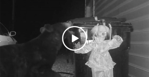 Man installs clown to scare away bear from trash (Video)