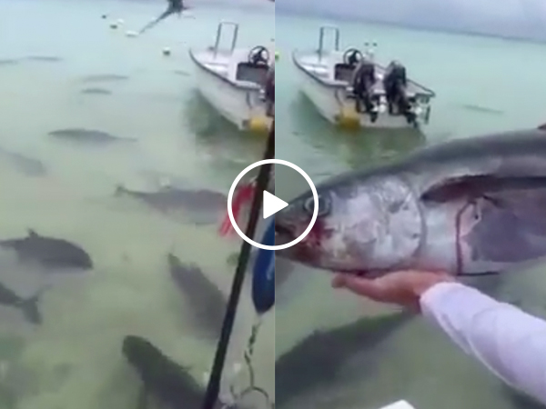 Guy throws dead tuna into a pack of Giant Trevally fish and, holy sh*t (Video)