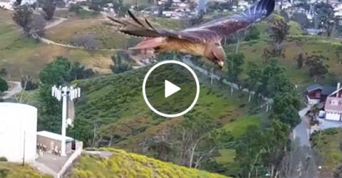 Drone captures hawk in flight (Video)