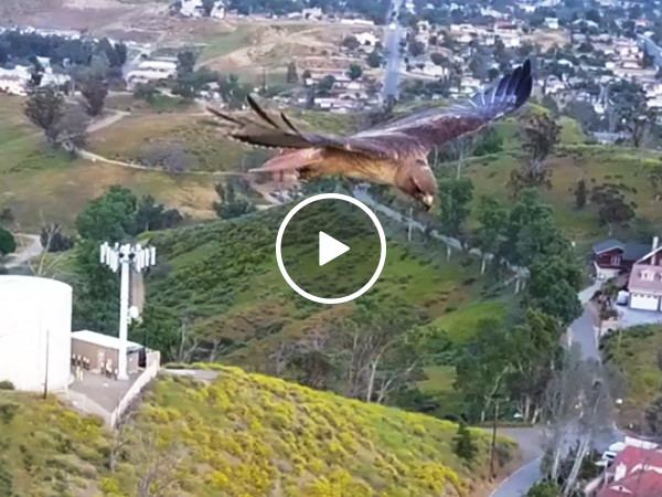 Drone captures hawk in flight (Video)
