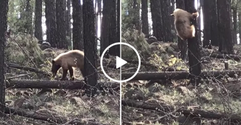 Mom elk saves her baby from bear