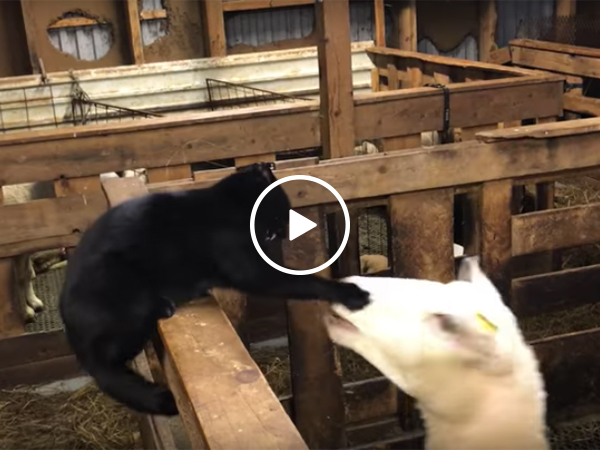 Sheep and cat get into a fight