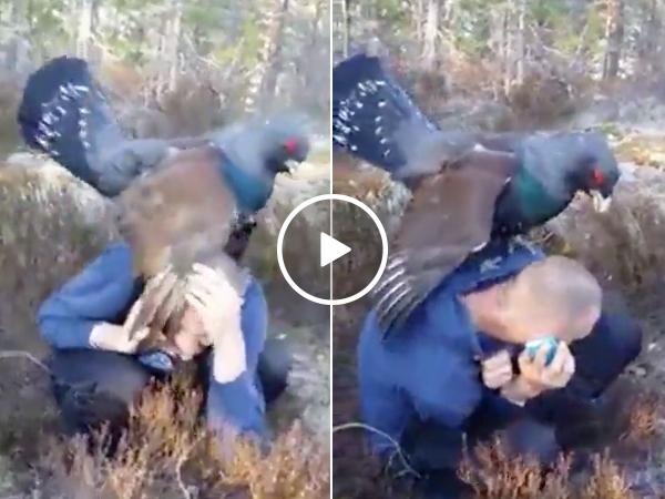 Large bird attacks hiker