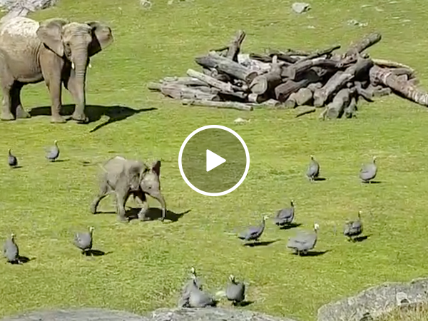 Adorable baby elephant chases birds (Video)