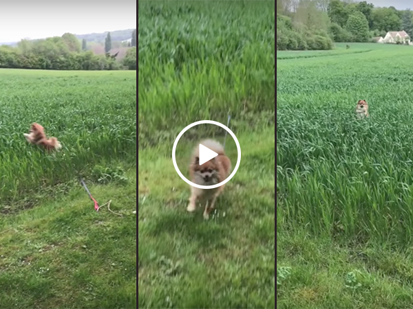 Pomeranian jumps around tall grassed field (Video)