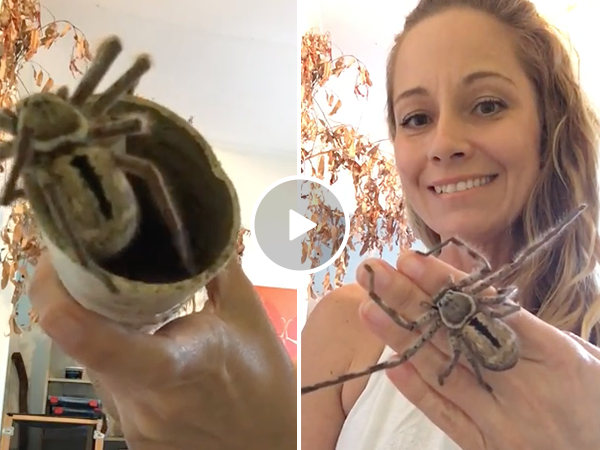 Woman puts dangerous huntsman spider on hand (Video)
