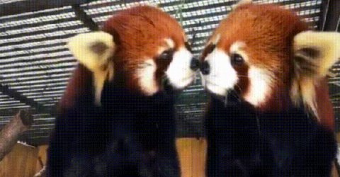 A collection of Red Pands Gifs (14 GIFs)