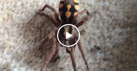 Man lays next to huge spiders (Video)