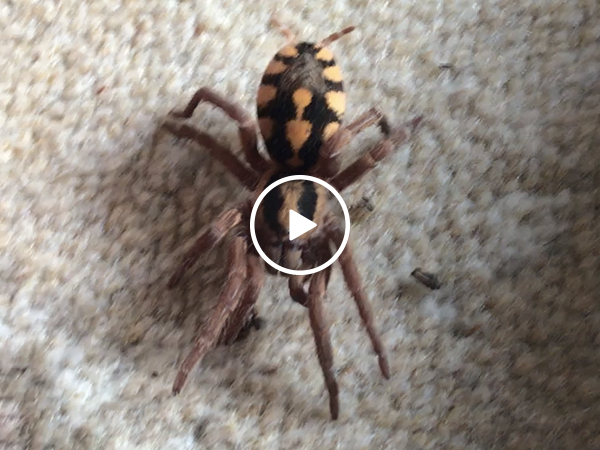 Man lays next to huge spiders (Video)