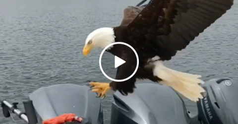 Slow motion camera catches bald eagle stealing a fish