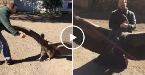 Massive condor returns to visit man that rescued him