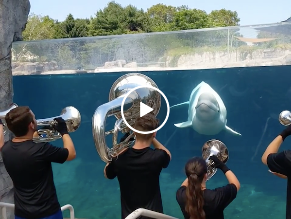 This cute Beluga whale definitely appreciates a good tune (Video)