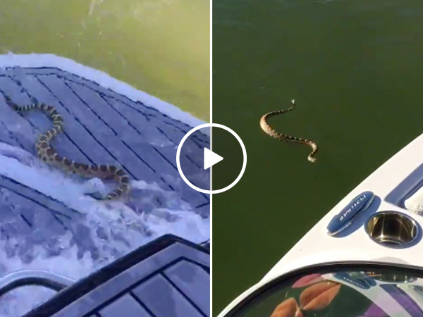 Aggressive Rattlesnake tries to board a boat full of people (Video)