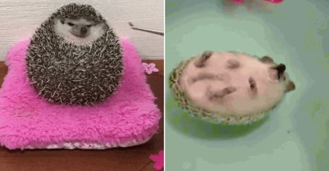 Adorable gifs of Hedgehogs (14 GIFs)