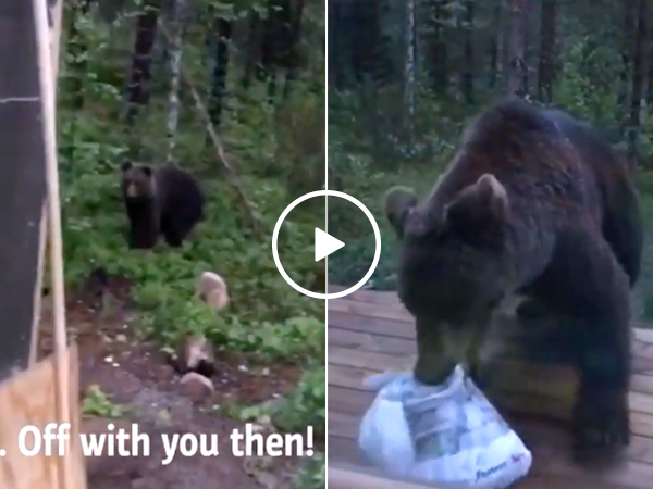 Finnish man scolds brown bear, gives zero f#*!s (Video)
