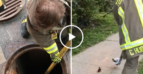 Toronto firefighters save an adorable family of ducklings (Video)