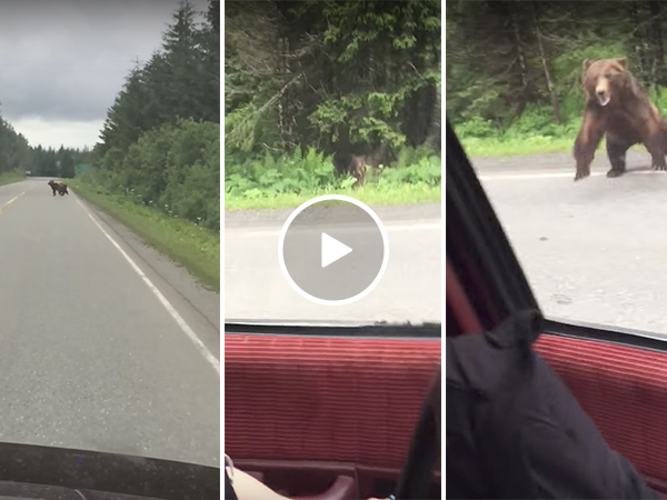 Bear charges car on highway (Video)
