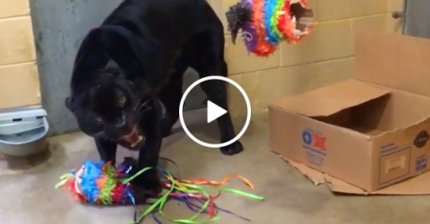 Just a panther and his piñata... and his deeply terrifying growl (Video)
