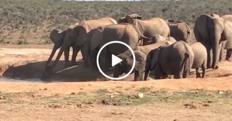 Elephant herd saves baby elephant