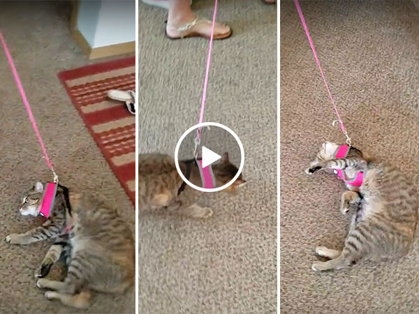 Cat does not want to go with a walk (Video)