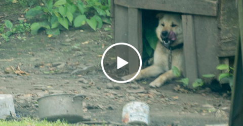 Dog let off of chain after 3 years (Video)
