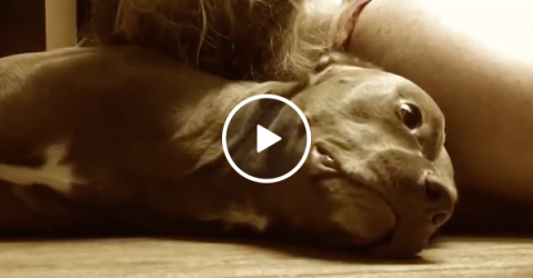 Awesome pit bull is able to protect owners head from seizers