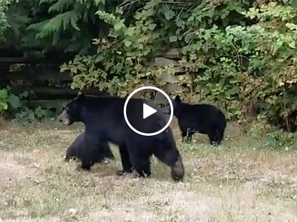 Canadian Man Politely Asks Bears To Leave