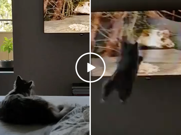 Cat tries to capture bird on TV in hilarious fail (Video)