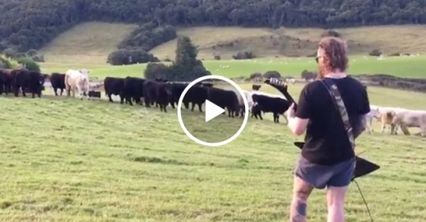 Cows in New Zealand are metal as f*ck (Video)