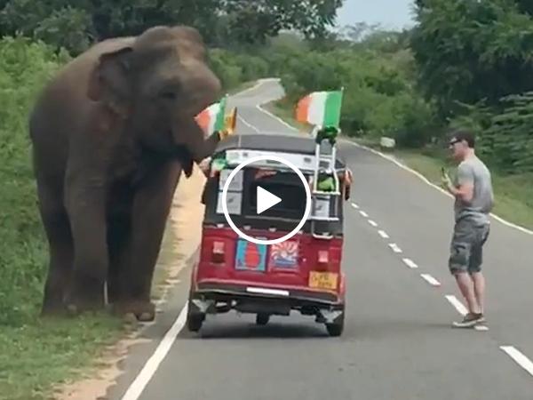 Elephant tips tiny tuk tuk in Sri Lanka almost crushing man (Video)