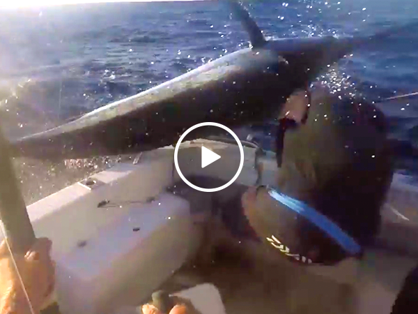 Blue marlin almost spears fisherman in the face (Video)
