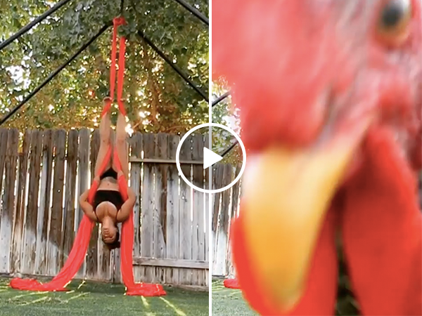 Rooster blocks camera for woman's backyard aerial routine (Video)