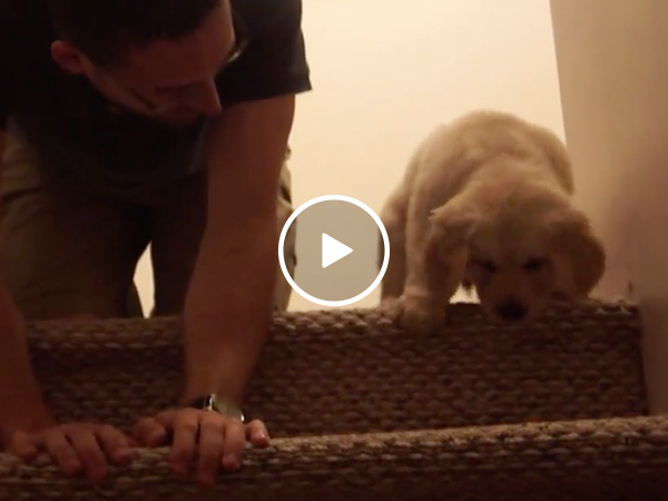 Golden puppy scared of stairs gets a lesson from owner (Video)