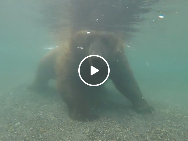 Bear Catches Fish Underwater | Bear Hunts For Food In Lake