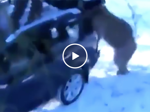 Bear Steals Car | Owner Is Stuck In Tree As Bear Hijacks Automobile