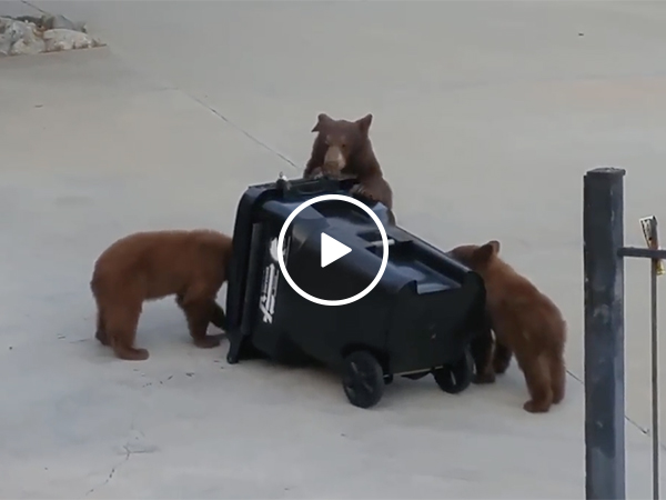 Bears Get Fooled By Bear Proof Garbage Can