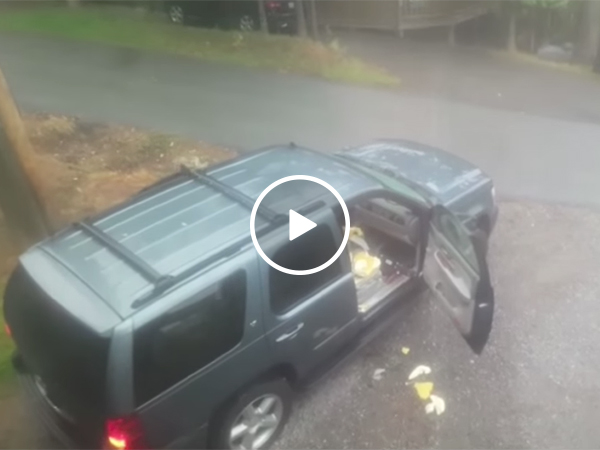 Guy Finds Two Bears In His Car | Bears Intrude Into Automobile