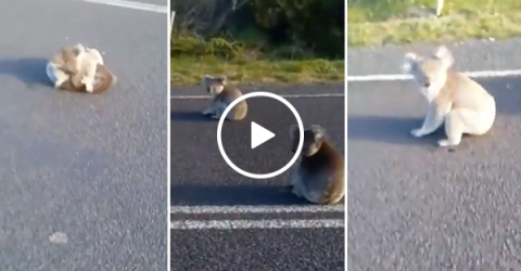 Koalas fight in the middle of the road