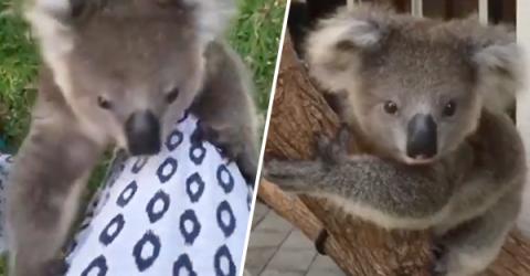 Adorable koala chases handler climbing her leg for cuddles (Video)
