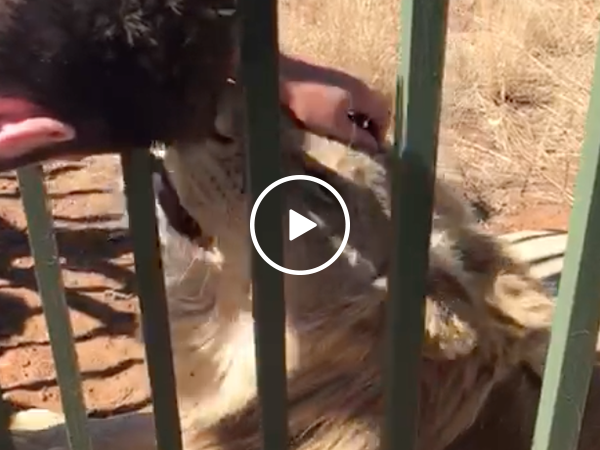 Idiot almost loses hand after sticking it in a lion's cage (Video)