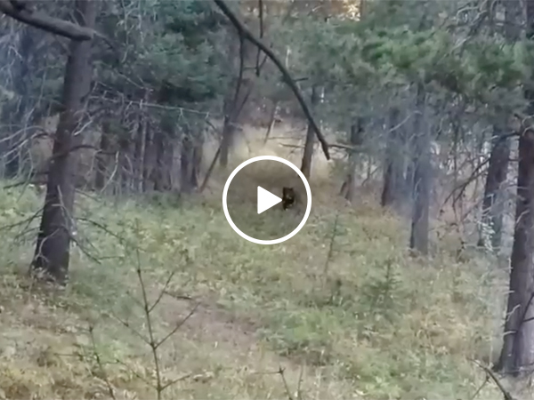 Bear Charges at Hunter Camped Out in the Woods