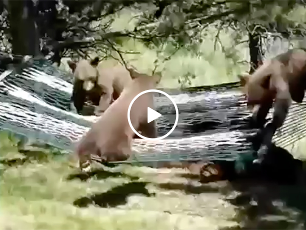 Three Bear Cubs Try To Get Into a Hammock and Have Trouble