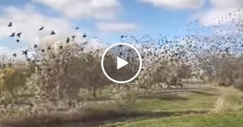 Birds Flock Over Front Yard | Swarm of Birds Take Flight