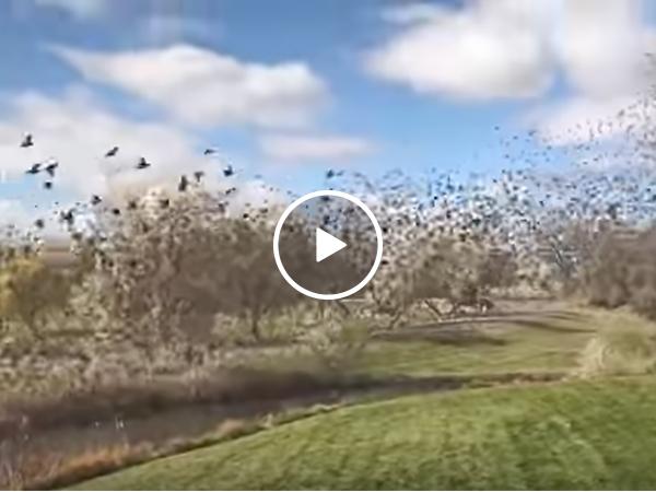 Birds Flock Over Front Yard   Swarm of Birds Take Flight