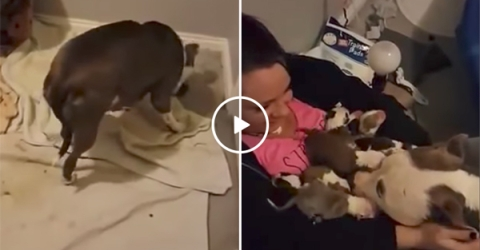 Pitbull mum picks up her puppies and puts them in owner's arms